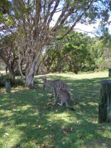 surf kangourou