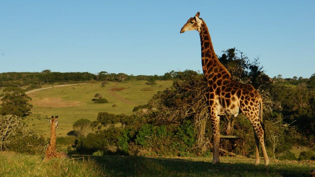 trip surf girafe Afrique du sud