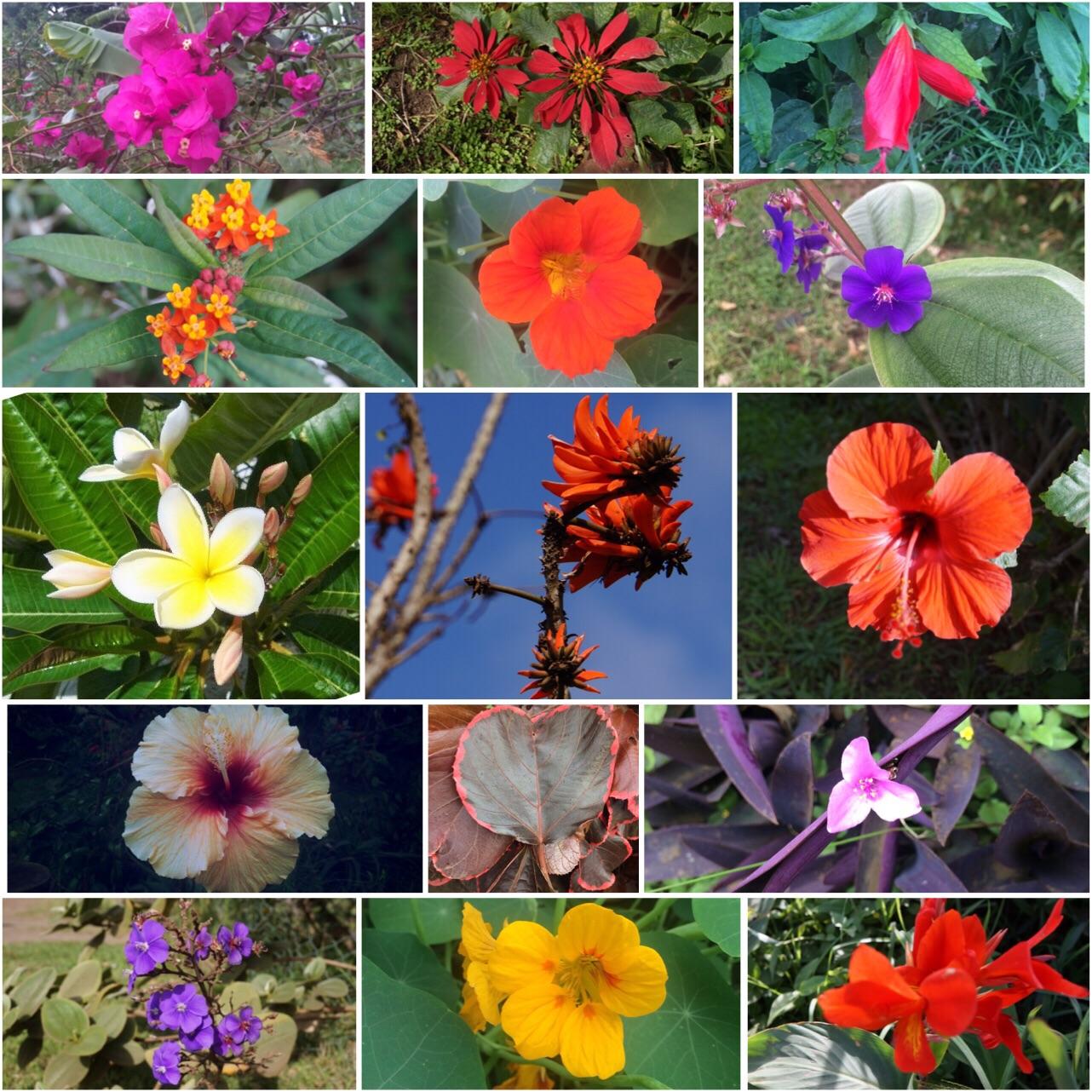 Fleurs hanga roa